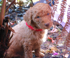 Labradoodle_puppy_for_sale
