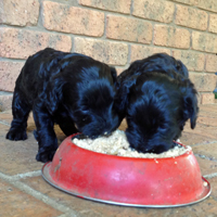 labraoodles eating