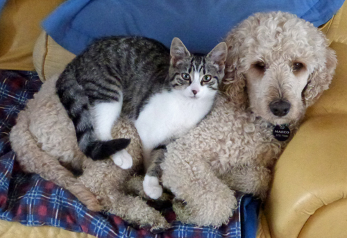 labradoodle_and_ cat