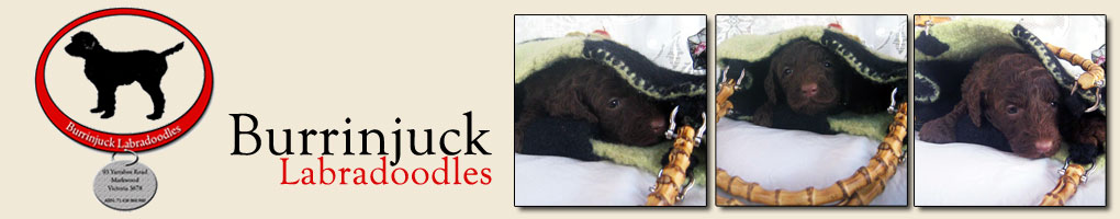 BurrinJuck Labradoodles
